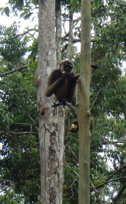 A gibbon in a tree